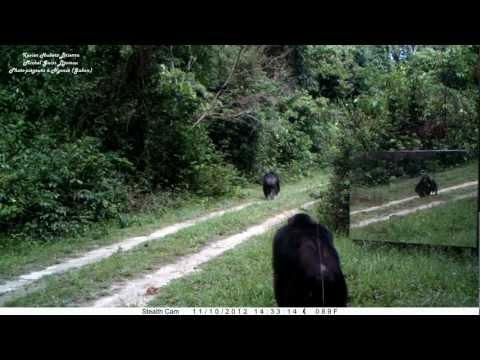MIRRORS in the jungle: its apprenticeship by chimpanzees, FIRST MEETING. Chimpanzés VS miroirs