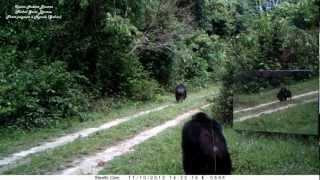 miroir en forêt (6) son apprentissage par les chimpanzés 1ère rencontre. Chimps VS mirrors in Gabon