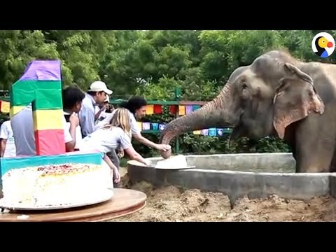 Elephant Celebrates Birthday After 50 Years In Chains | The Dodo