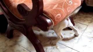 Bull Terrier 2 months / Bull Terrier 2 meses