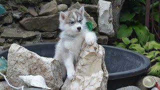 Сибирские хаски, племенные щенки