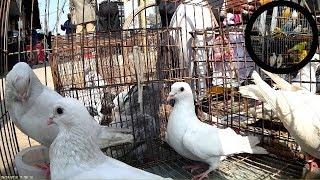 kobutor bikroy at kobutor bazar Bangladesh | kobutor hat - Whit kobotor Video