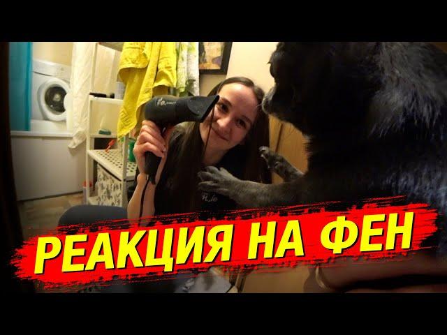 Реакция чихуахуа на фен