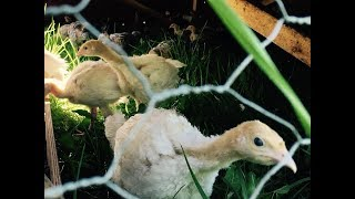 How To Raise Turkeys - What You Need To Know!!