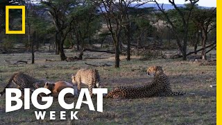 Cheetah Cubs Learn to Hunt | Big Cat Week