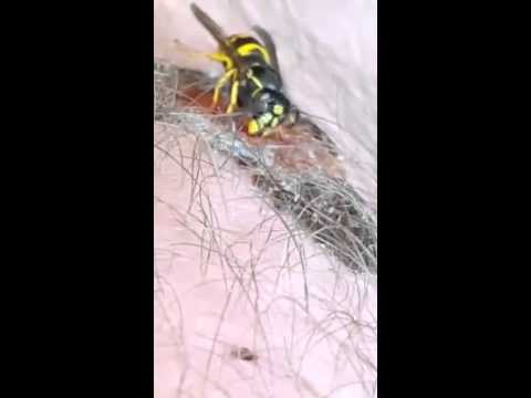 Wasp eats scab