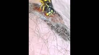 Wasp eats scab