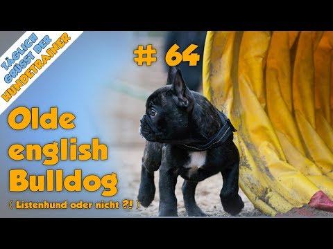 Tgh 64 Ist Der Oeb Ein Listenhund Old English Bulldog Hundeschule Youtube