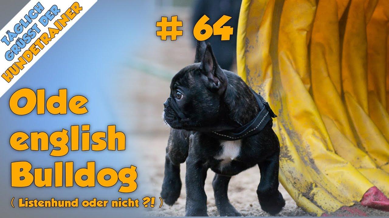 Tgh 64 Ist Der Oeb Ein Listenhund Old English Bulldog
