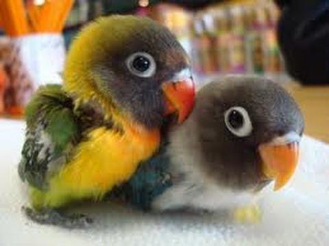 Ciri-Ciri Anak Lovebird Prospek
