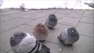 寒い冬のある朝、膨れたかわいいハトが集まっていました。 ふわふわポヨ...