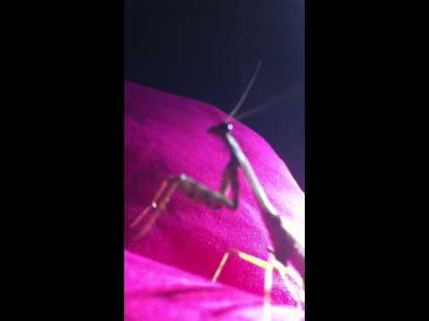 Karaoke Mantis