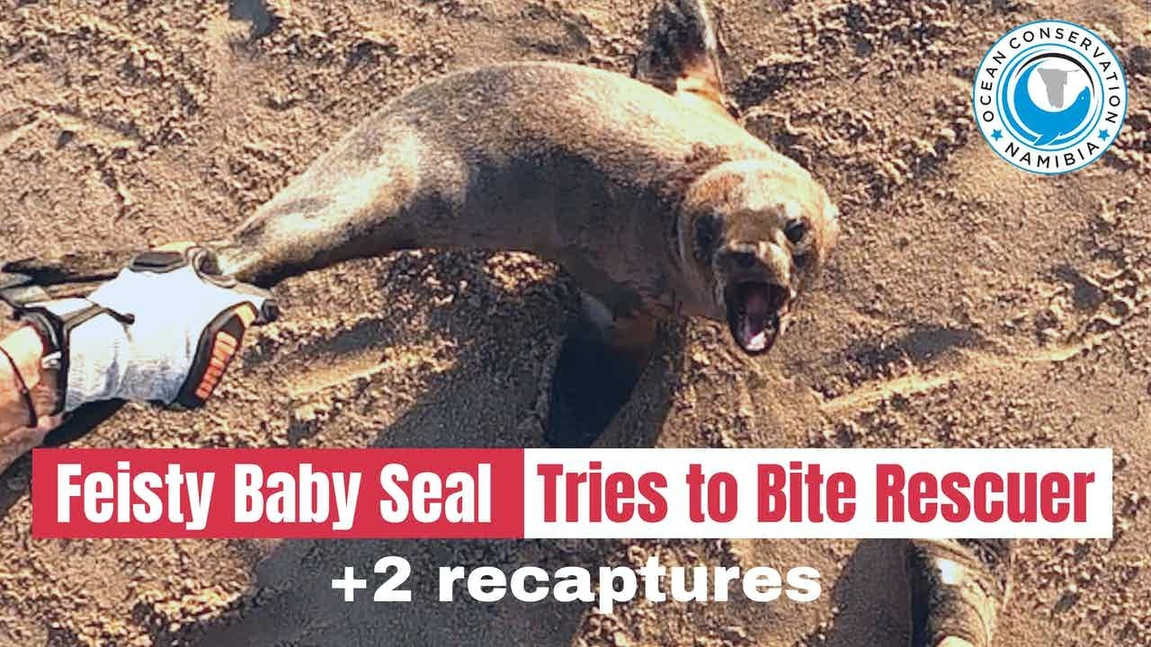 Angry Baby Seal Tries to Bite Rescuer