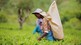 Unique Tea Experience in Sri Lanka with Jetwing Travels