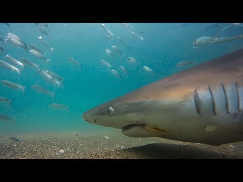 Sharks And Pelicans Feast On Millions Of Fish | Seven Worlds, One Planet | BBC Earth