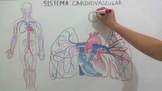 Sistema juntos inmunitario y cardiovascular? el ¿Cómo funcionan