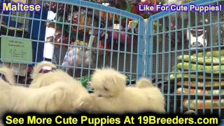 Maltese, Puppies For Sale, In, Kent, Washington, Wa, Bainbridge Island, Mercer Island, Maple Valley,