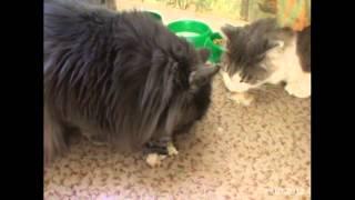 Два кота едят рыбу