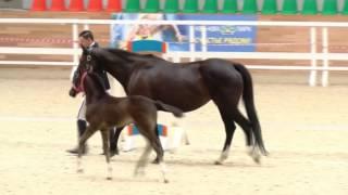 Внук Тотиласа представлен в рамках Шоу молодых лошадей в Maxima Stables