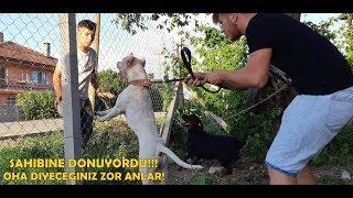 Amstaff ve Rottweiler Sahibi Saldırıya Uğrayınca Bakın Ne Yaptı!!!