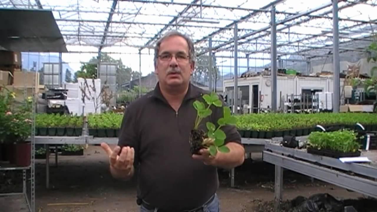 warum man einmaltragende erdbeeren im sommer pflanzen. Black Bedroom Furniture Sets. Home Design Ideas