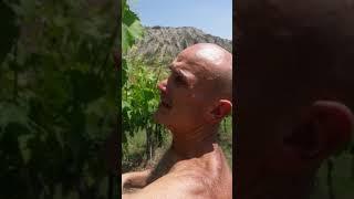 Видео-болталка в итальянском винограднике👫