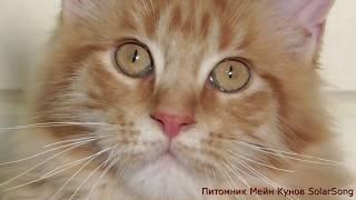 Кошка  Gella SolarSong  красный мрамор, 4.5 месяца.  Свободна!