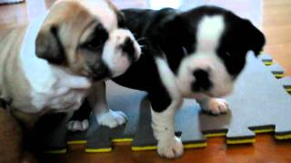 4 Week Old Boston Bulldogs (boston Terrier X English Bulldog)