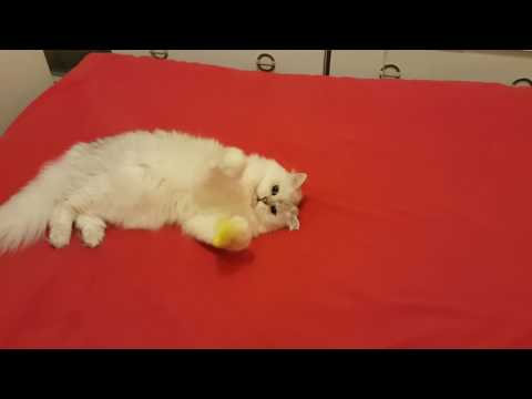 Burmilla Cat Playing With Her Toy