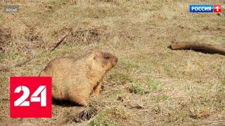 Смотреть видео Зима пришла: в Московском зоопарке впали в спячку сурки - Россия 24 онлайн