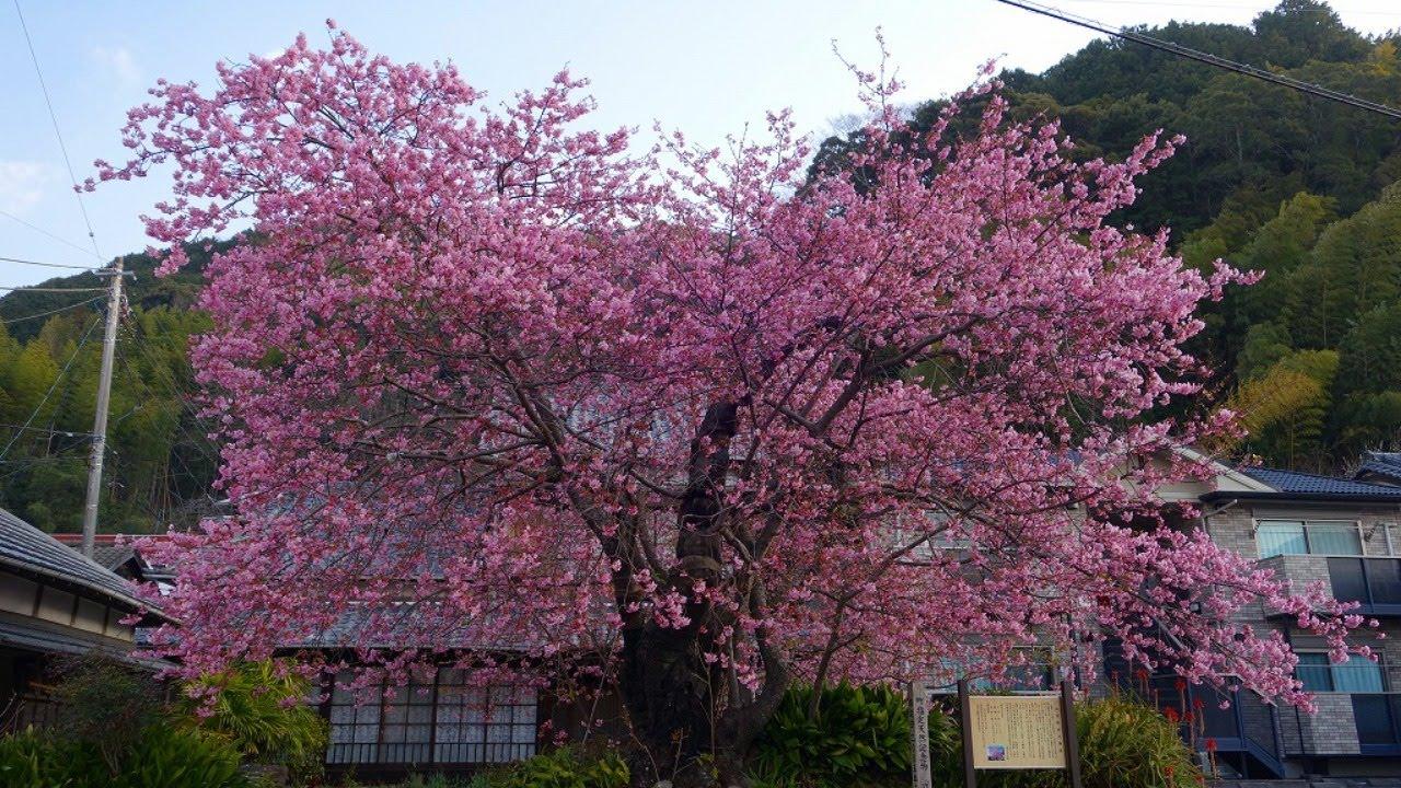 原木 河津 桜