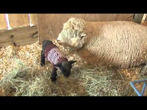 Babydoll Southdown Lambs and Sheep from Sweetwater Farm Maryland mpg