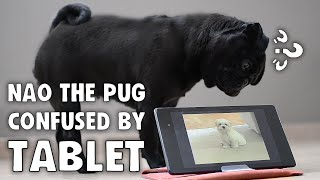 Pug Confused By Tablet, Head Tilt Ensues | Nao The Pug
