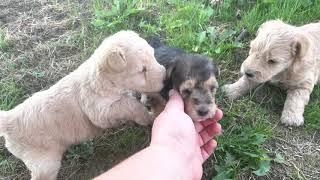 Olivia  Oscar 8/25/21 3.5 weeks old lakeland puppies
