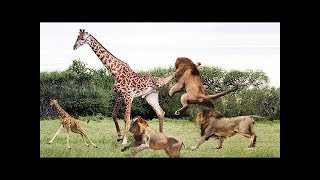 Amazing young lione fight you  must watch  /////https://www.youtube.com /// Protect Animal