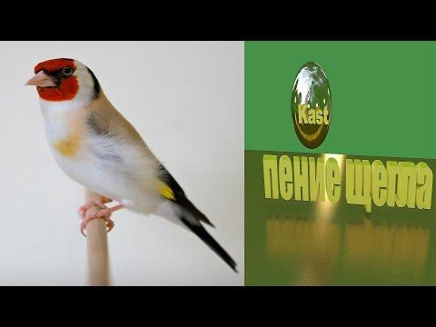 пение щегла на природе( cantando pintassilgo)الغناء الحسون
