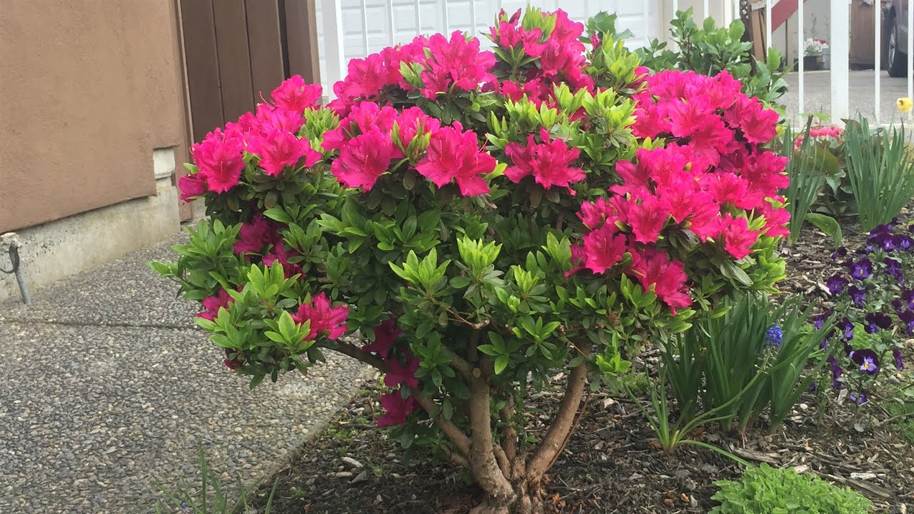 Download Azalea, Girard's Fuchsia - Prune to Half the Size (Year 2) - May 26