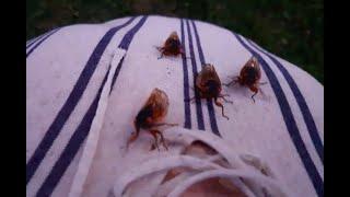 Cicadas from 2021, Fairfax VA