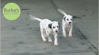 Burke's Backyard, Dalmatian Dog Road Test