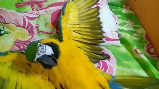 Большой попугай балдеет