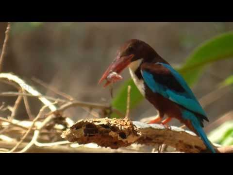 Funny Bird Stunning Kingfisher Eat Fish Cleverly