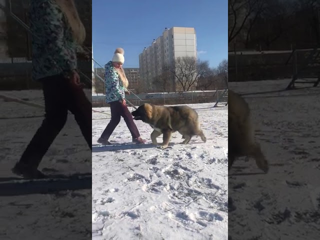 Caucasian Shepherd Dog  Female #7 for sale (6 months) video 1
