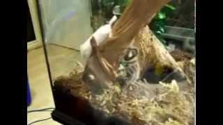Grammostola Rosea Vs Mouse