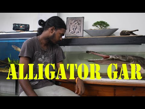 Basic Information About The Alligator Gar (Atractosteus Spatula)  And Care In Sinhala