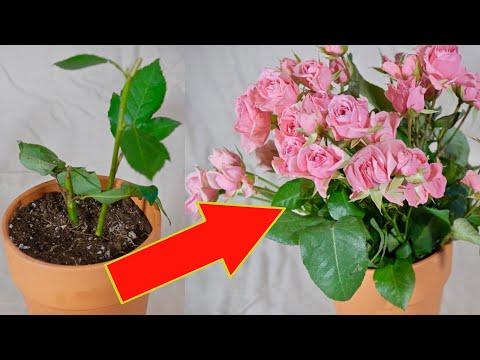 Вопрос: Какие сорта роз легко укореняются?