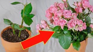 Как из одного куста роз вырастить 100