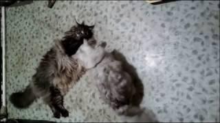 Жуткая драка Мейн Куна с Британским котиком.