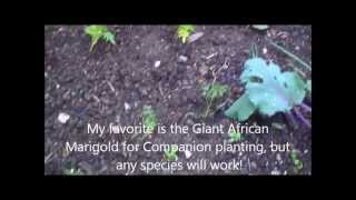 Companion planting with Marigolds and the Benefits