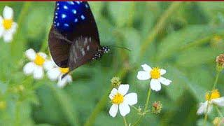 तितलियों के लिए वोटिंग