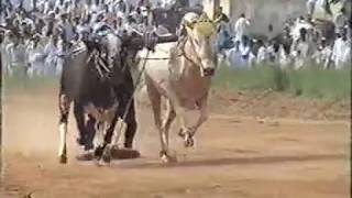 Ox (Bull)  Race at Rawat (Organized by Ch. Intikhab) Pt -1: Uploaded by: Ishtiaq Aziz